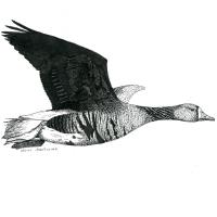 Autocollant oie rieuse en vol