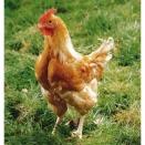 Lot de 6 oeufs fécondés poulet JA 657