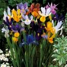 50 Iris de Hollande en mélange