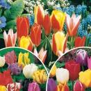 Collection '3 mois de tulipes' - 60 bulbes