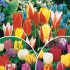 Collection '3 mois de tulipes' - 60 bulbes