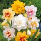 15 Narcisses doubles en mélange