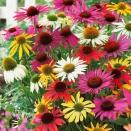 5 Marguerites 'Papillon' en mélange