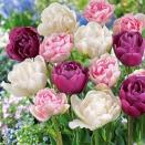 Coll. de 15 Tulipes à fleurs de Pivoines