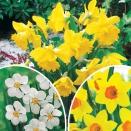 Collection 3 mois de Narcisses - 30 bulbes
