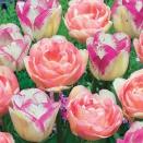 Collection 20 tulipes 'Romantiques'