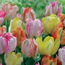 18 tulipes perroquet pastel