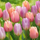 Collection Charme 20 tulipes pastel