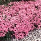 3 Phlox mousse rose pâle