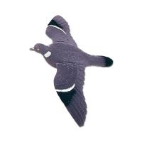 Pigeon floqué, ailes battantes